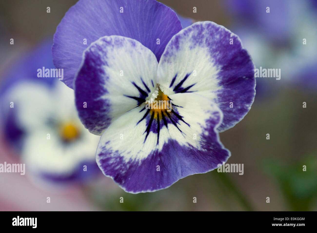 Deep Blue and White pansy flower closeup - Stock Image