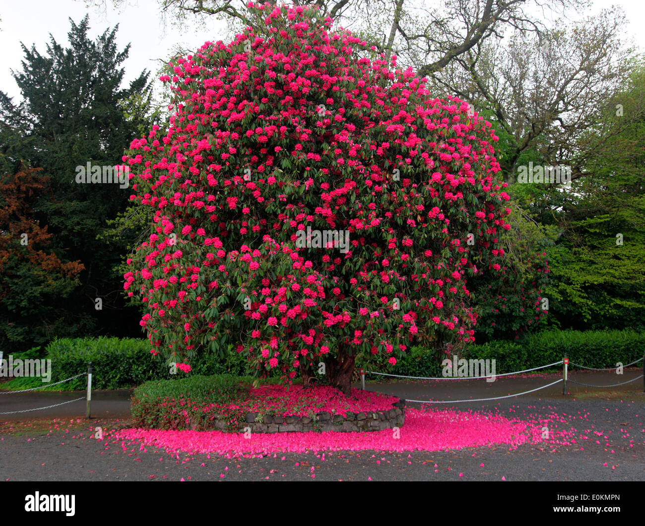 Virginia Park Lodge rhododendron - Stock Image