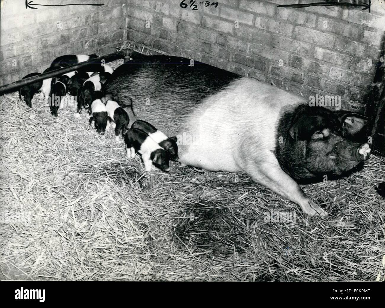 Apr. 04, 1949 - ''Pansy'' gives Birth to Twenty-Three Piflets..Ninety-Nine offspring in four years: ''Pansy'' 28 stens Essex sow on the farm of Mr.John Butler, of Stoke-by-Nayland, near Ipswich, on Saturday gave birth to a reach British litter of 23 piglets.. In under four years Pansy has mothered 99 offspring in seven litters - two of them of 19 each. Normal litter is about 12-of which only eight or nine can be successfully reared by the mother. Pansy (her full name is Chilton Pansy 32nd.) is bringing up 14 of her latest family. - Stock Image