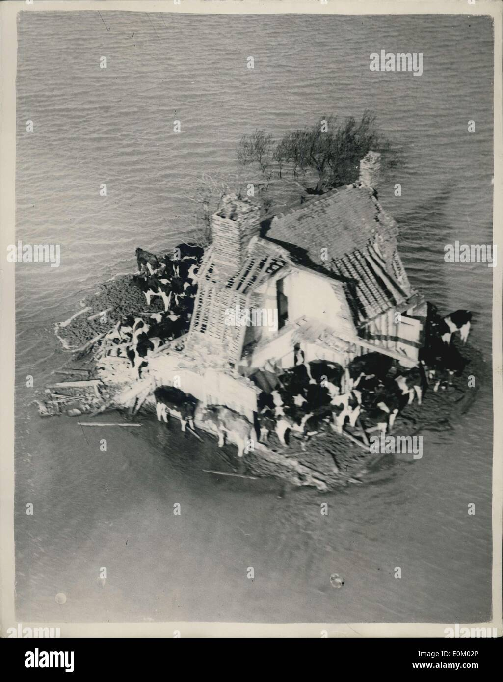 Feb. 02, 1953 - Picture from the air: Latest scenes of the Essex flood area. Cattle in ancient farmhouse on Foulness Island.: Photo shows cattle herded in the remains of an ancient farmhouse on Foulness Island, Essex as they try to keep away from the surrounding waters today. - Stock Image