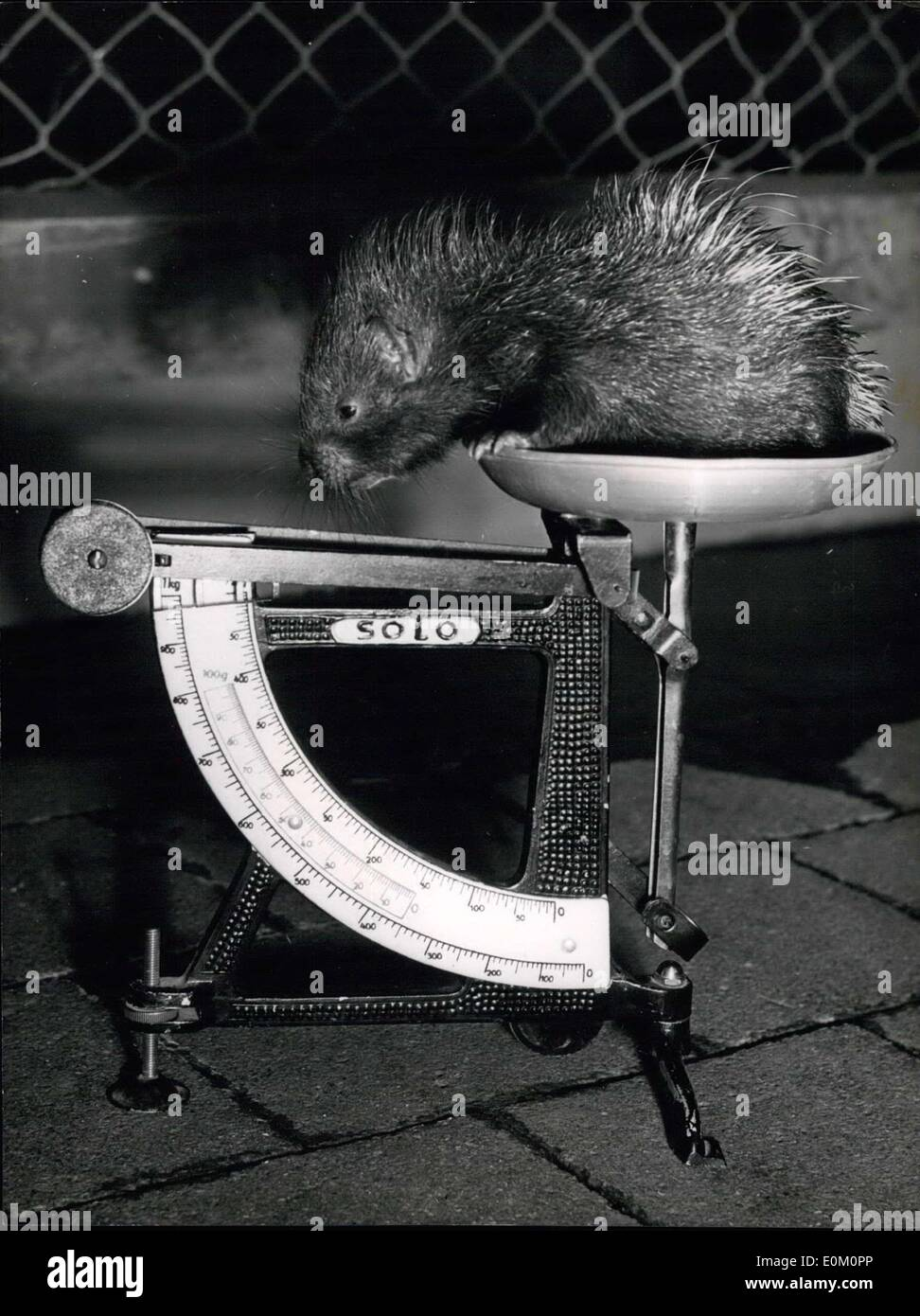 Feb. 17, 1953 - 480 grams with quills! : This is quite good weight for a newly born porcupine, Mister and Mistress ''Mystrix Gristata'' produced two young ones which were able to see everything from the very first moment and also ran about immediately after the dropping. Their names are Max and Mortiza. Here we see Max, the taller of the two young porcupines gazing at his own ''weightiness' - Stock Image