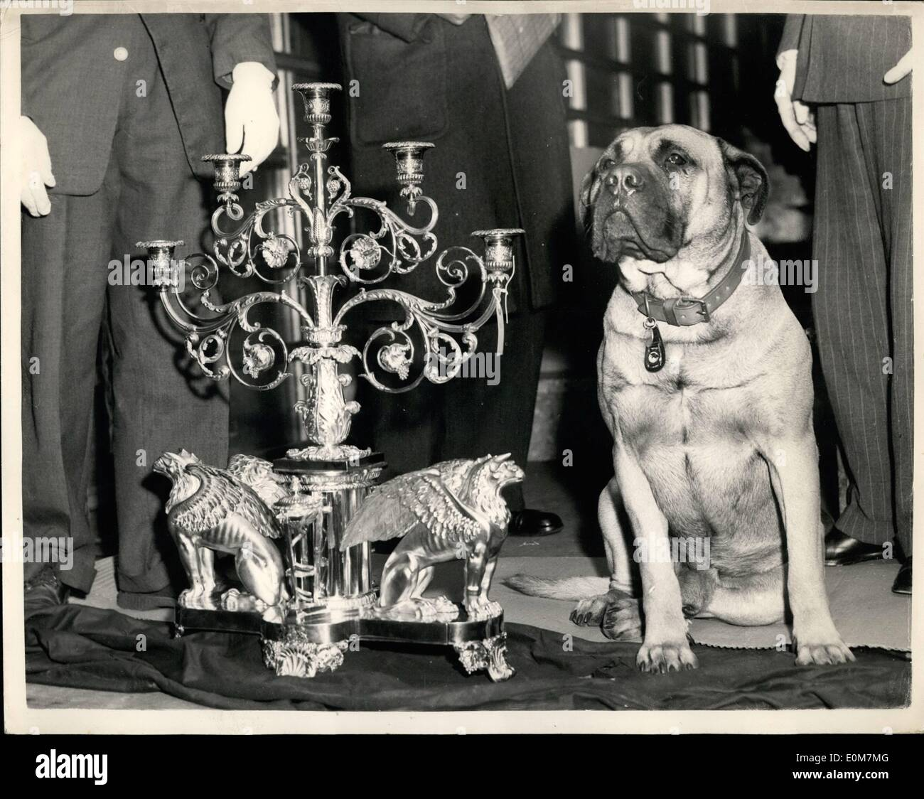 Jan. 01, 1954 - Royal Plate is Moved From The Palace: Dingaan Simoa, better known as Danny, was the last line of defence against hi-jackers when the priceless royal plate was moved from Buckingham Palace to the Victoria and Albert Museum today. Danny, a 3-year old ull mastiff, and his Scots-born owner, Mr. Alex Sinclair, stayed in the van carrying the plate on the one-and-a-half mile journey. The removal of the Queen's plate is his most important job to date. The museum exhibition, from February 19 to April 19, has been made possible only through the absence aboard of the Queen - Stock Image