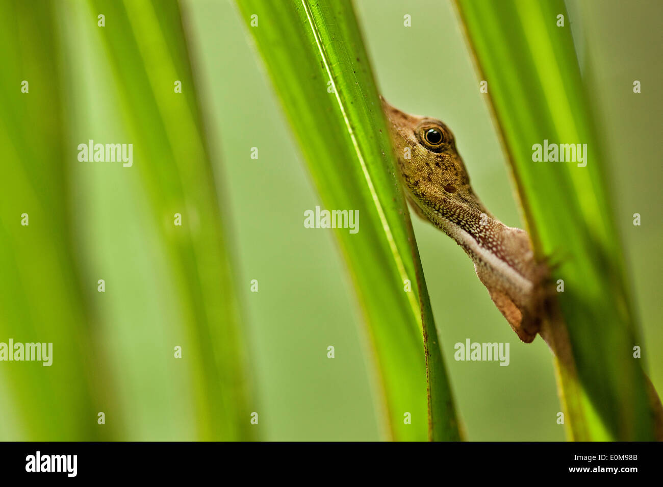 An anole watches the photographer warily from behind palm fronds in Tambopata National Preserve, Peru. (Anolis sagrei) Stock Photo