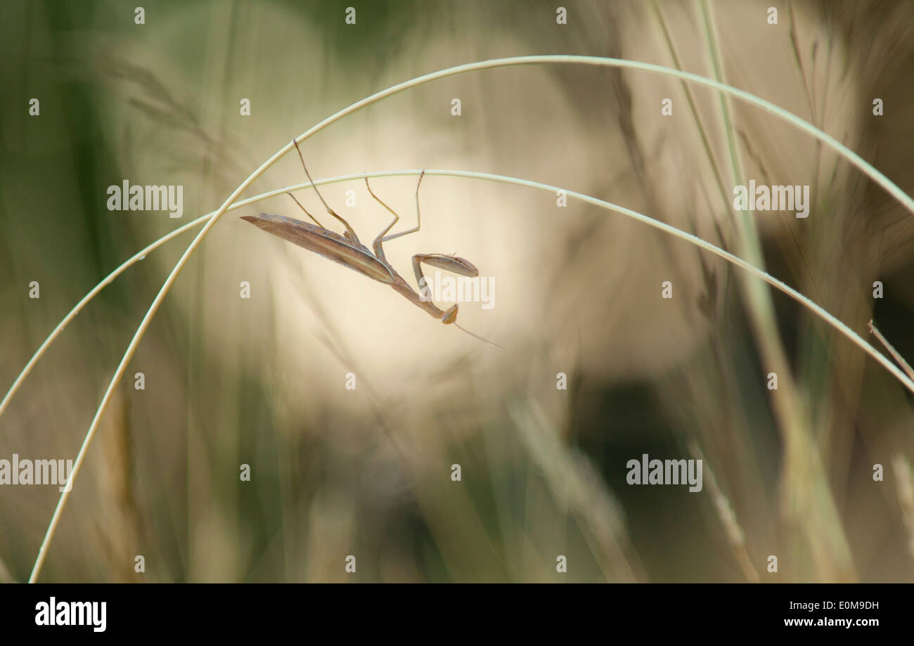 A Praying Mantis hangs from grass stalks, Oregon, USA (Tenodera aridifolia) - Stock Image