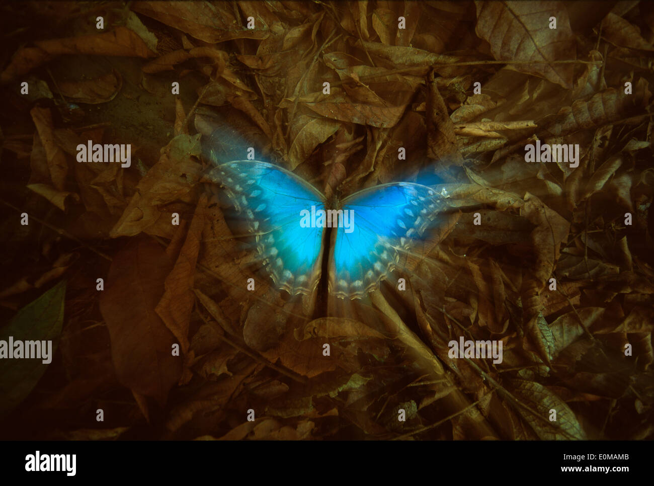 A dead Blue Morpho butterfly lies amonst the brown leaves on forest floor, Corcovado National Park, Costa Rica (Morpho - Stock Image