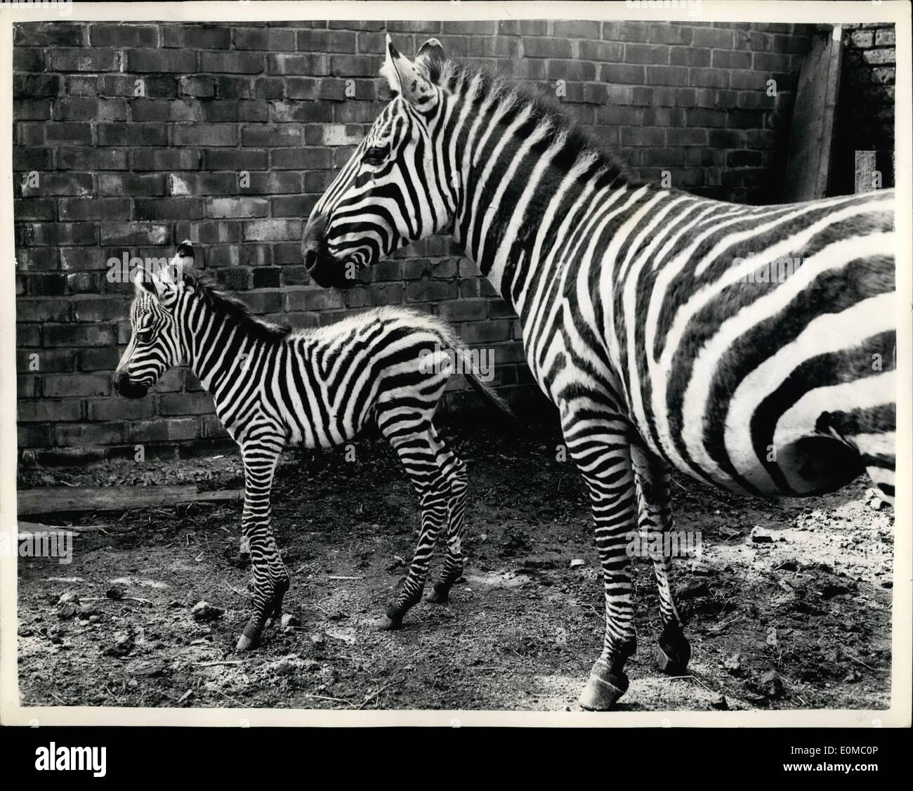 Jun. 06, 1954 - Baby Male Zebra Born At Belle Vue - Manchester First Time For 118 Years..: For the first time in 118 years of Bella Vue, a male baby Zebra has been born,, The mother is ''Tilla'' and the father ''Timothy''. Phot Shows Tilla - with her one day old son  at Belle Vue, Manchester. - Stock Image