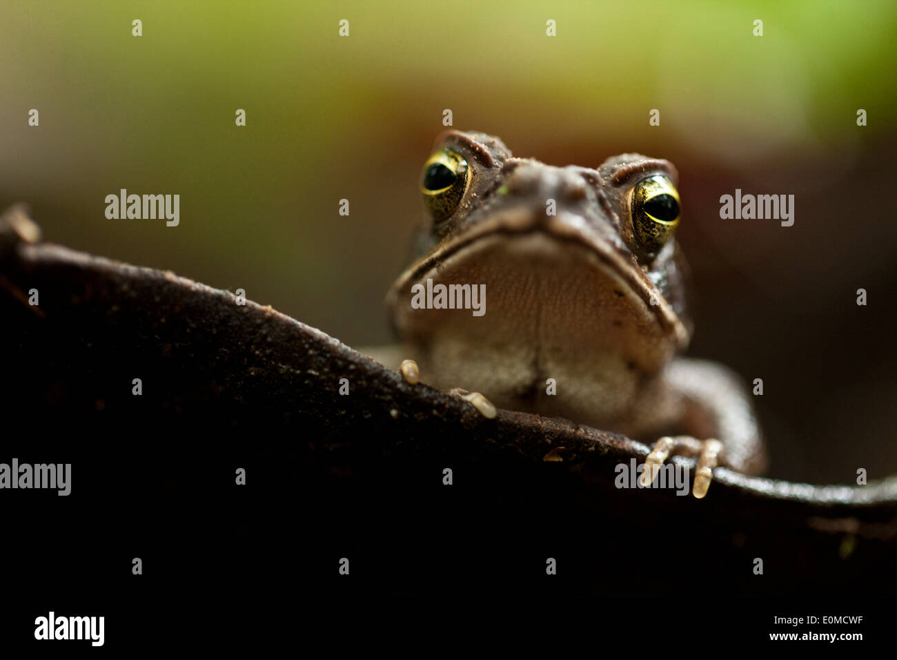 A frog watches from a water-filled leaf on the rainforest floor, Tambopata National Preserve, Peruvian Amazon - Stock Image