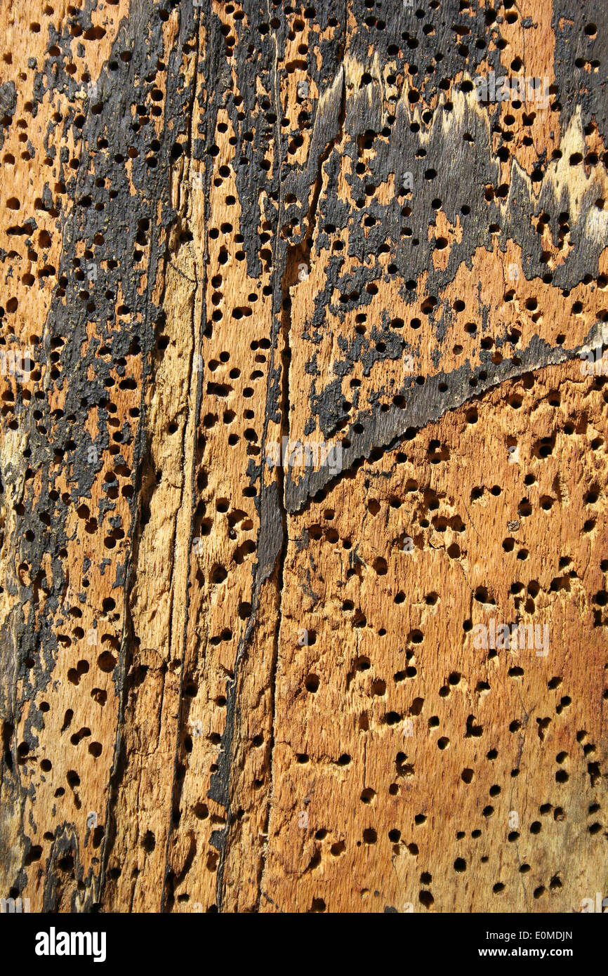 Beetle Holes In Tree Trunk - Stock Image