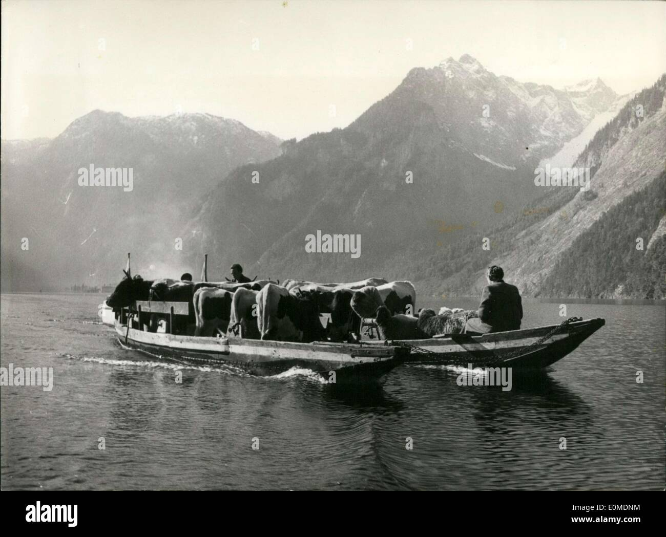 Oct. 16, 1954 - The boatmen had cows in his boat on K?nigsee(King's Sea) yesterday. The boatmen brought the herd, which had drifted away from its grazing pasture, back across the nine kilometer long and 240 meter deep sea to their stalls. - Stock Image
