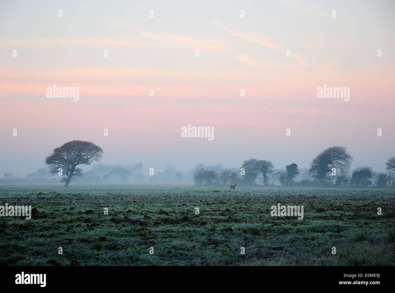 Frosty December sunrise, Chichester Plain West Sussex. Roe deer. Capreolus capreolus. - Stock Image