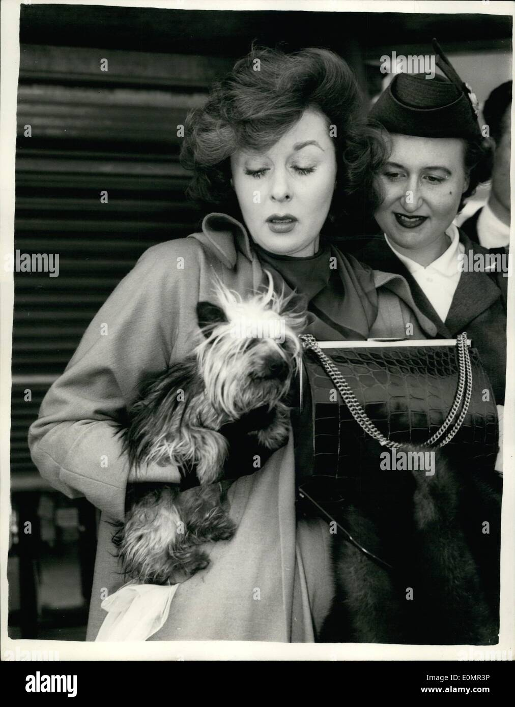 May 05, 1956 - Susan Hayward stamps - weeps and generally shows off because she could not take her puppy with her to Paris.: Redhead screen star Susan Hayward raged and wept at London Airport yesterday because she could not take ''Sukehi'' her Manchester terrier puppy with her on the aircraft to Paris. And she had only bought the puppy a few hours earlier. The airport officials were adamant and the pup had to travel by freight aircraft later in the day. B.E.A. officials explained that dogs are not allowed to accompany their owners because of inconvenience to other passengers - Stock Image