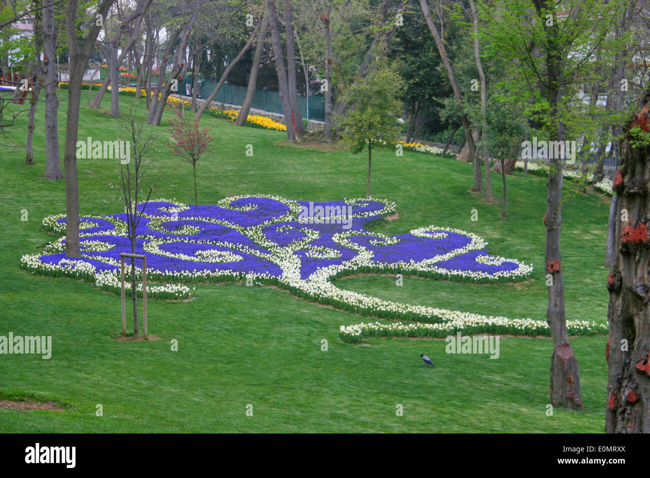 White Tulip and Purple Hyacinth ,Garden Paysage Like Tree - Stock Image