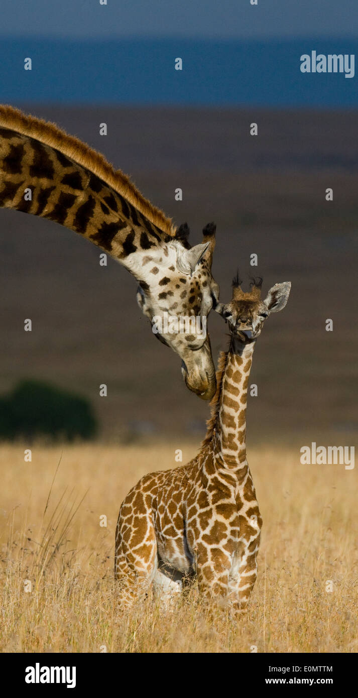 Giraffe and calf, Masai Mara National Park, Kenya (Giraffa Camelopardalis) - Stock Image