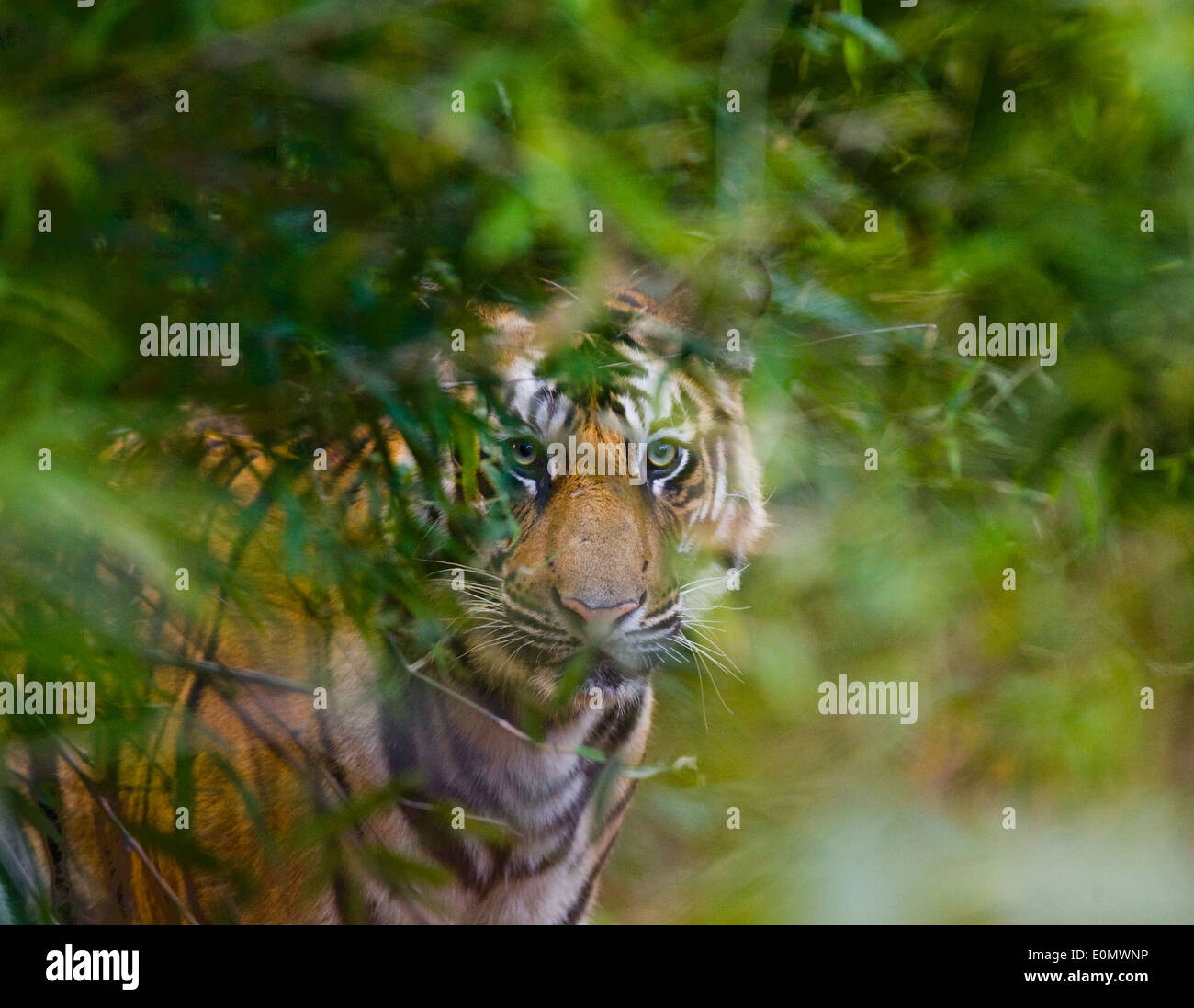 Indian tiger, Bandhavgarh National Park, India (Panthera tigris) - Stock Image