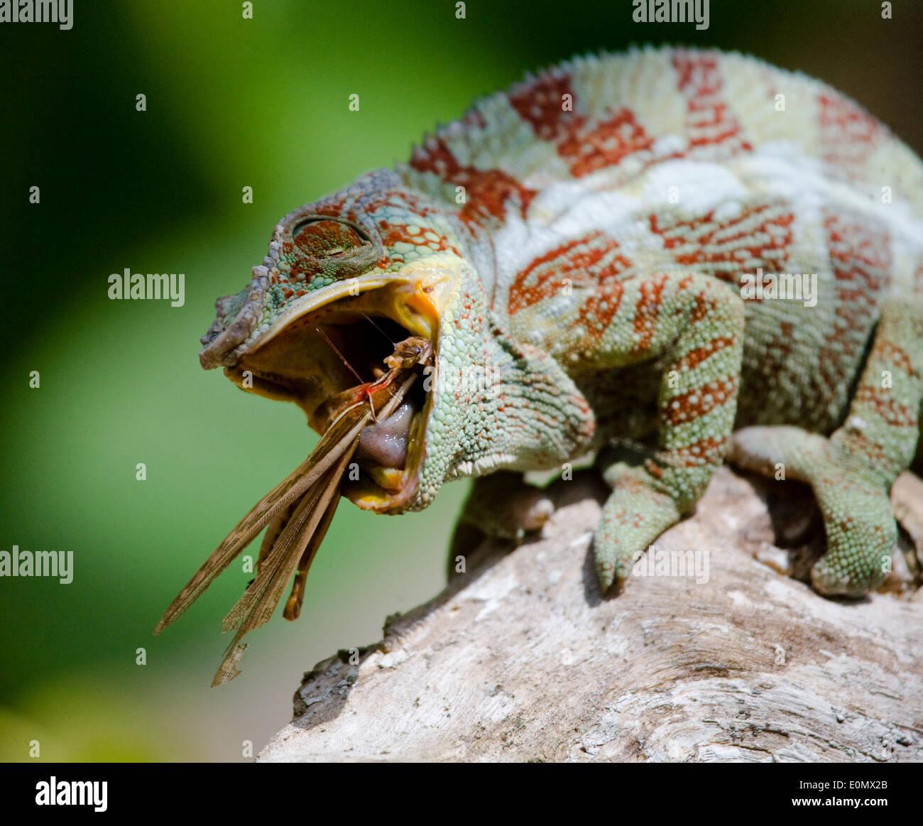 Chameleon eating a grig (insect), Madagascar (Chamaeleonidae), (Cyphoderris) - Stock Image