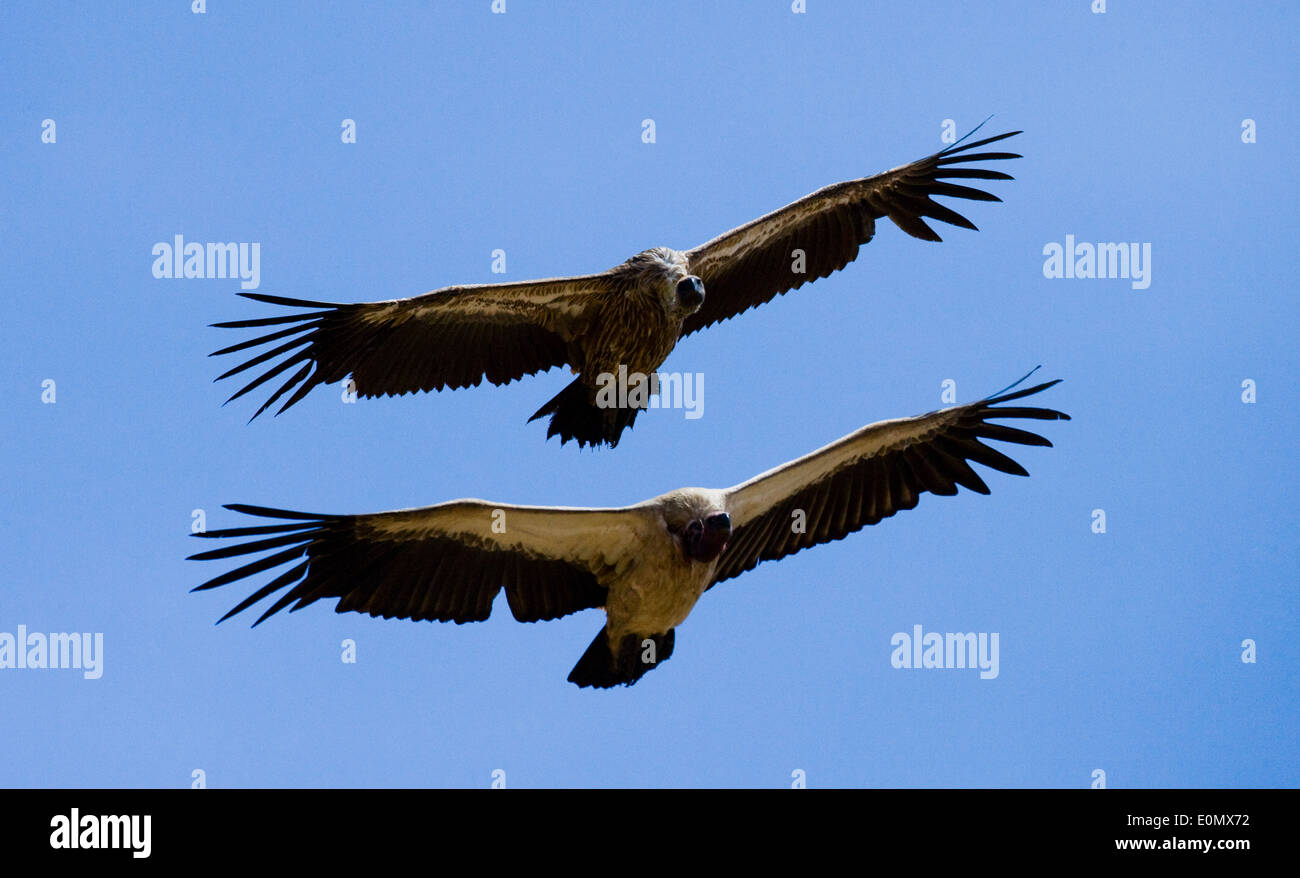 Two vultures flying over Masai Mara National Park, Kenya (Torgos tracheliotus) - Stock Image