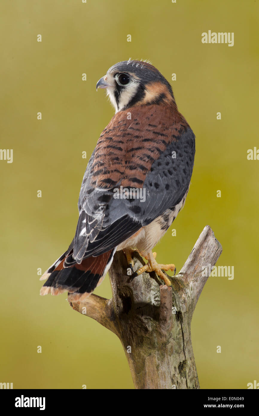 American Kestrel on tree limb, Central Pennsylvania, United States. Controlled situation (Falco sparverius) - Stock Image