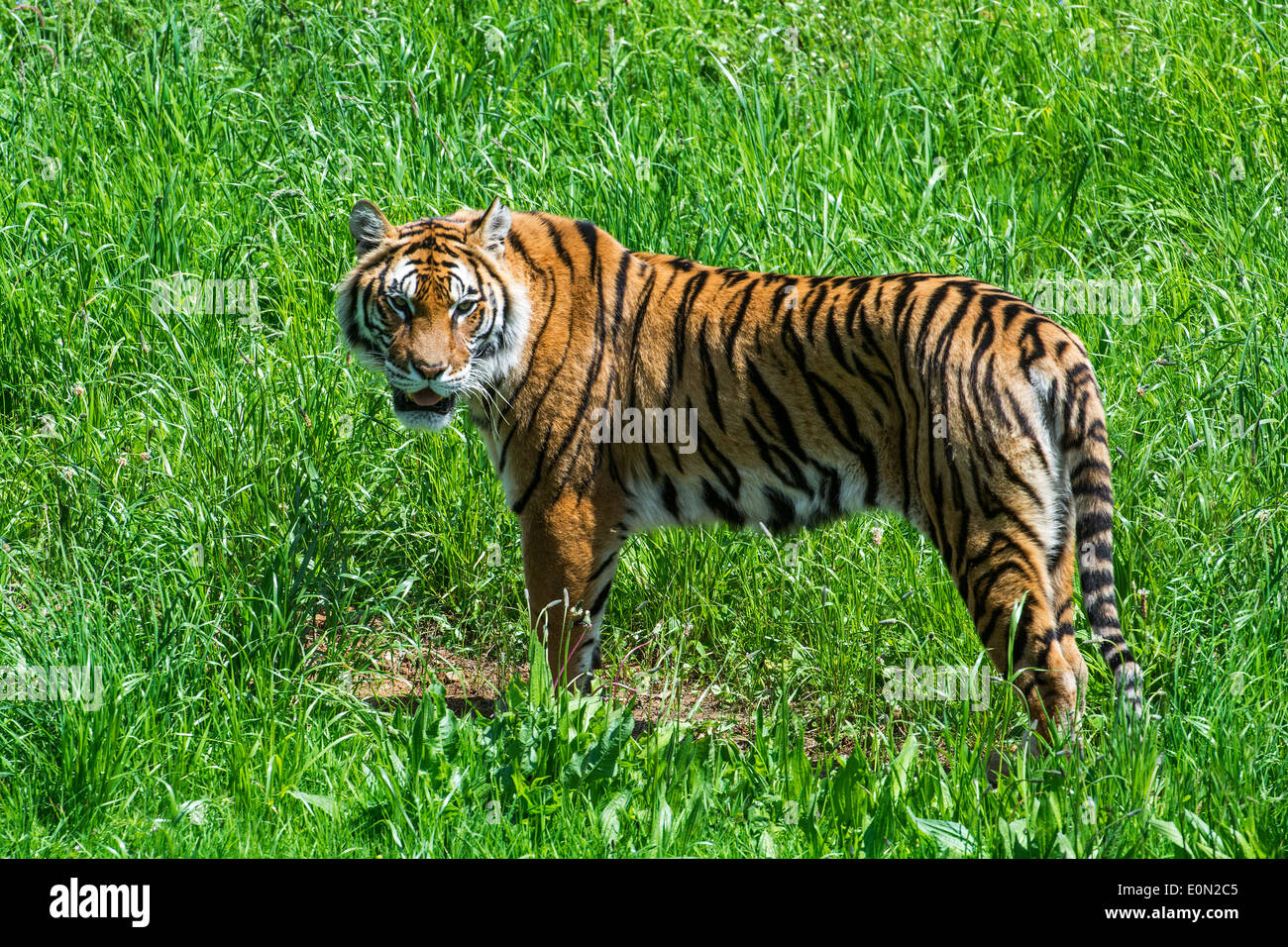 Bengal tiger (Panthera tigris tigris) native to India, Bangladesh, Nepal and Bhutan in grassland Stock Photo