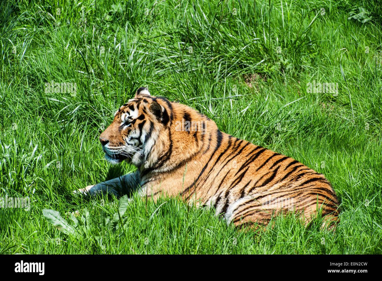Bengal tiger (Panthera tigris tigris) native to India, Bangladesh, Nepal and Bhutan lying in grassland - Stock Image