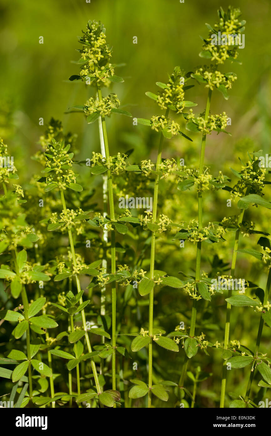 little yellow flower (Cruciata glabra) as background - Stock Image