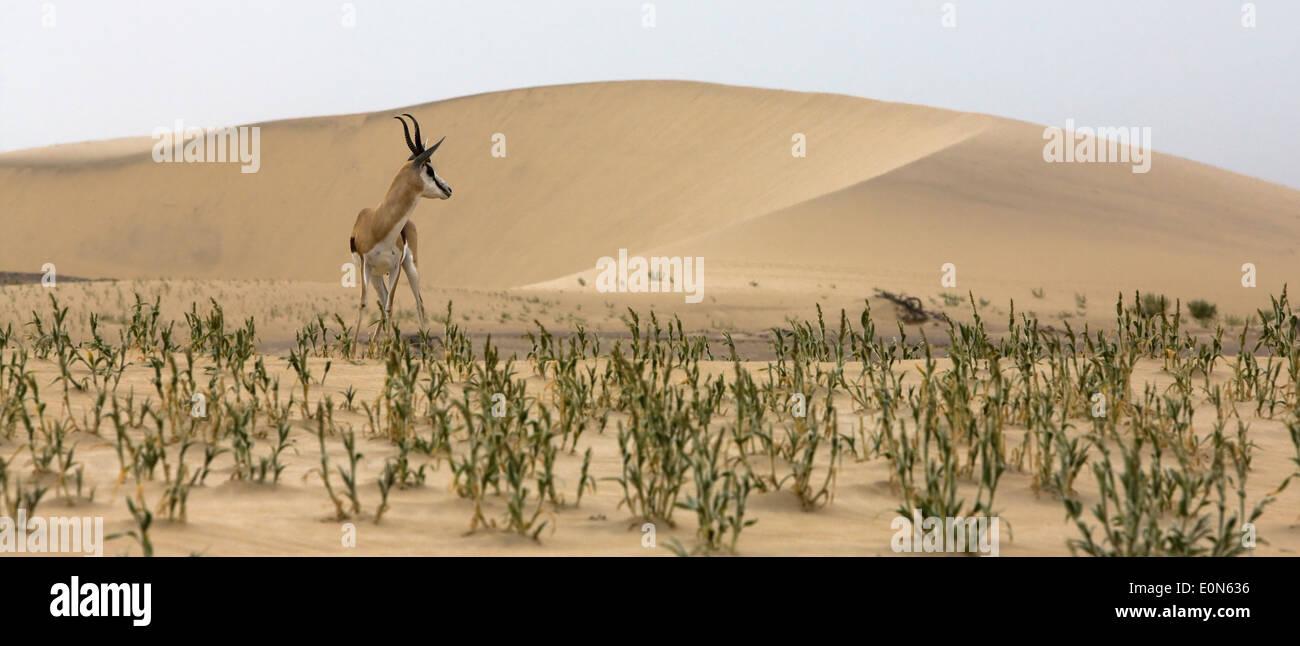 Thomson's gazelle amid the dunes in the Namib desert - Stock Image