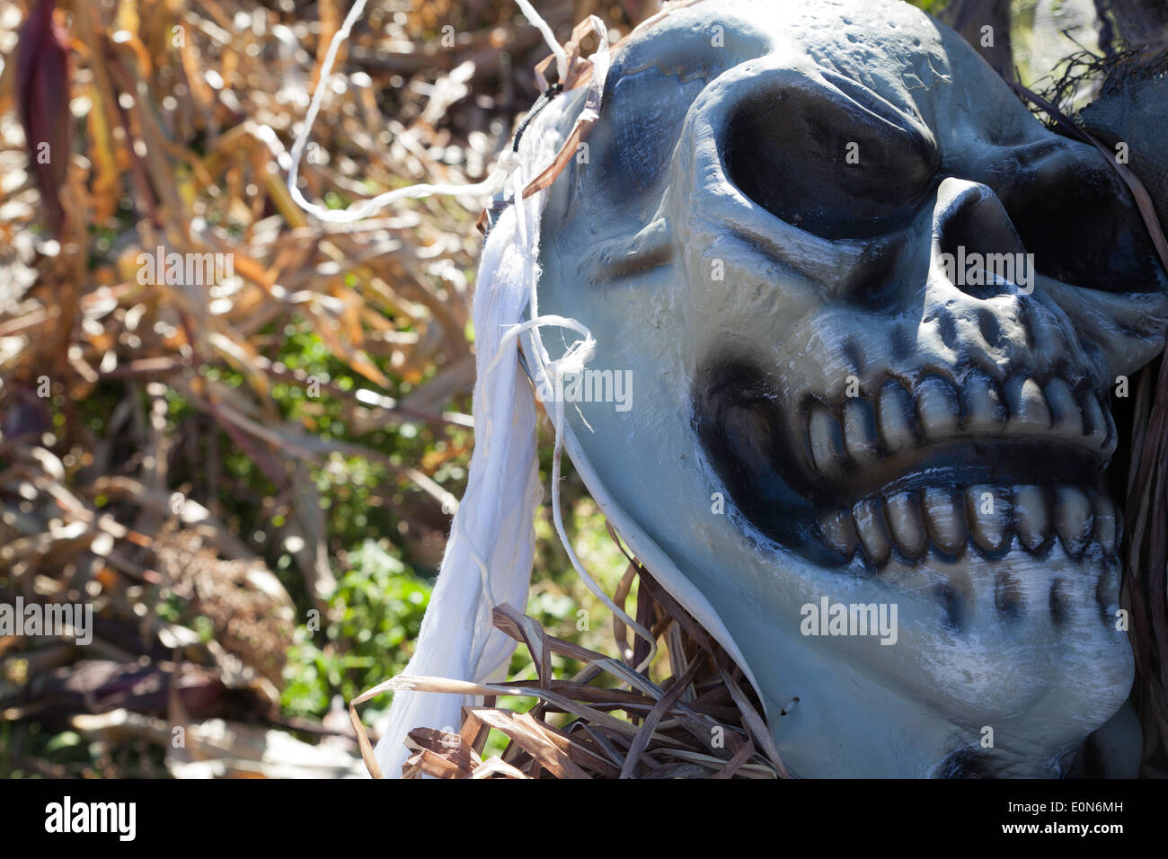 Ghoulish Skeletal Parts Are Used As Halloween Decorations In A Corn