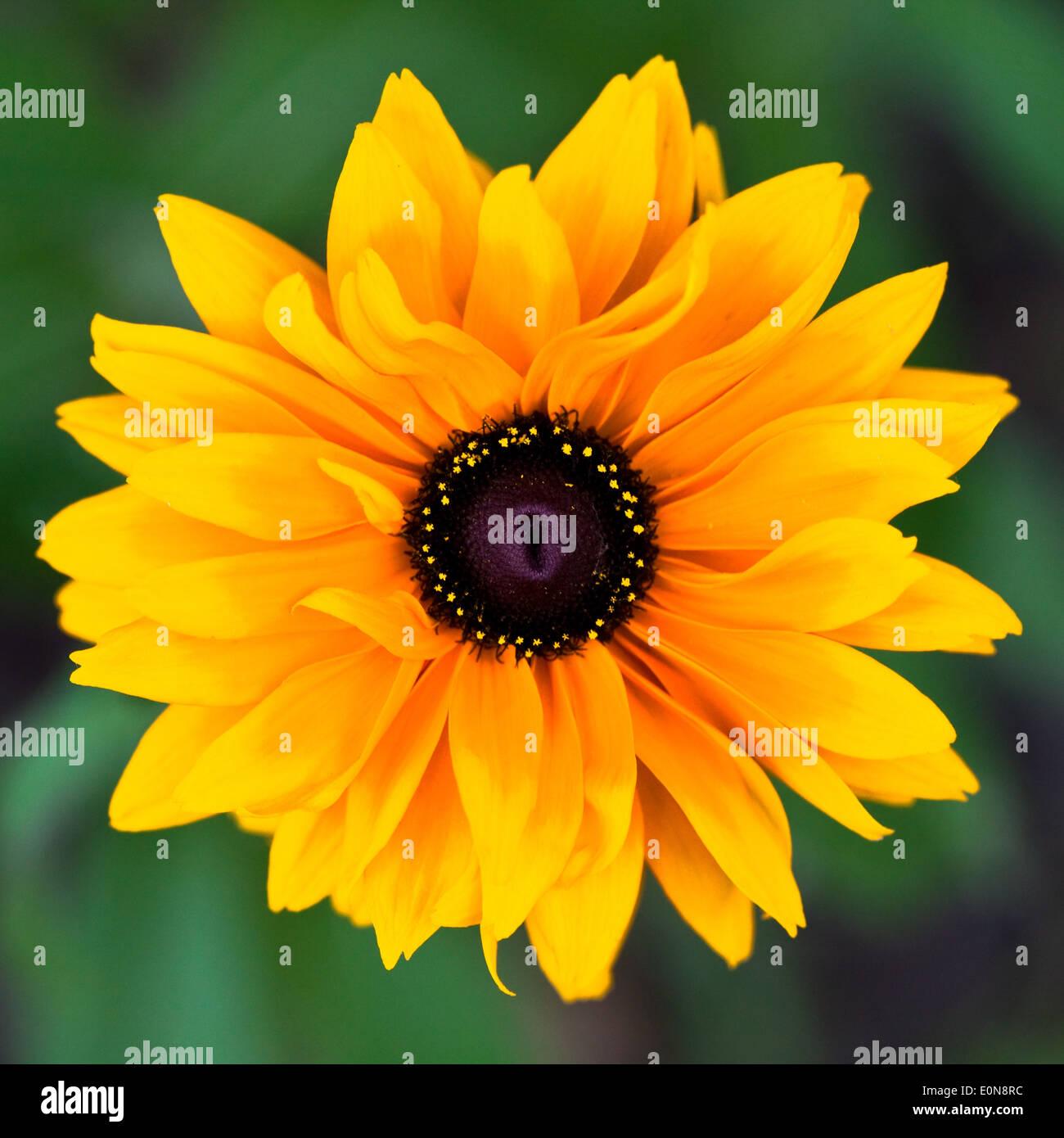 Einjähriger Sonnenhut - Coneflower - Stock Image