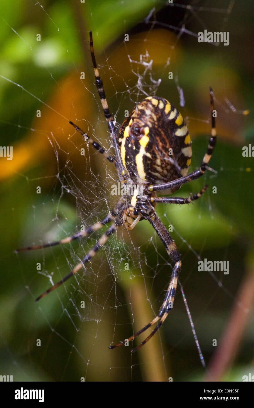 Wespenspinne (Argiope bruennichi) - Wasp spider (Argiope bruennichi) - Stock Image