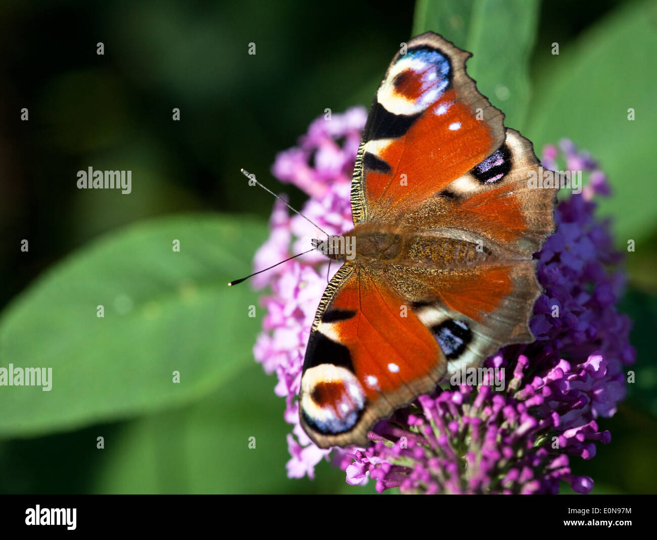 Tagpfauenauge (Inachis io) - European Peacock butterfly (Inachis io) - Stock Image