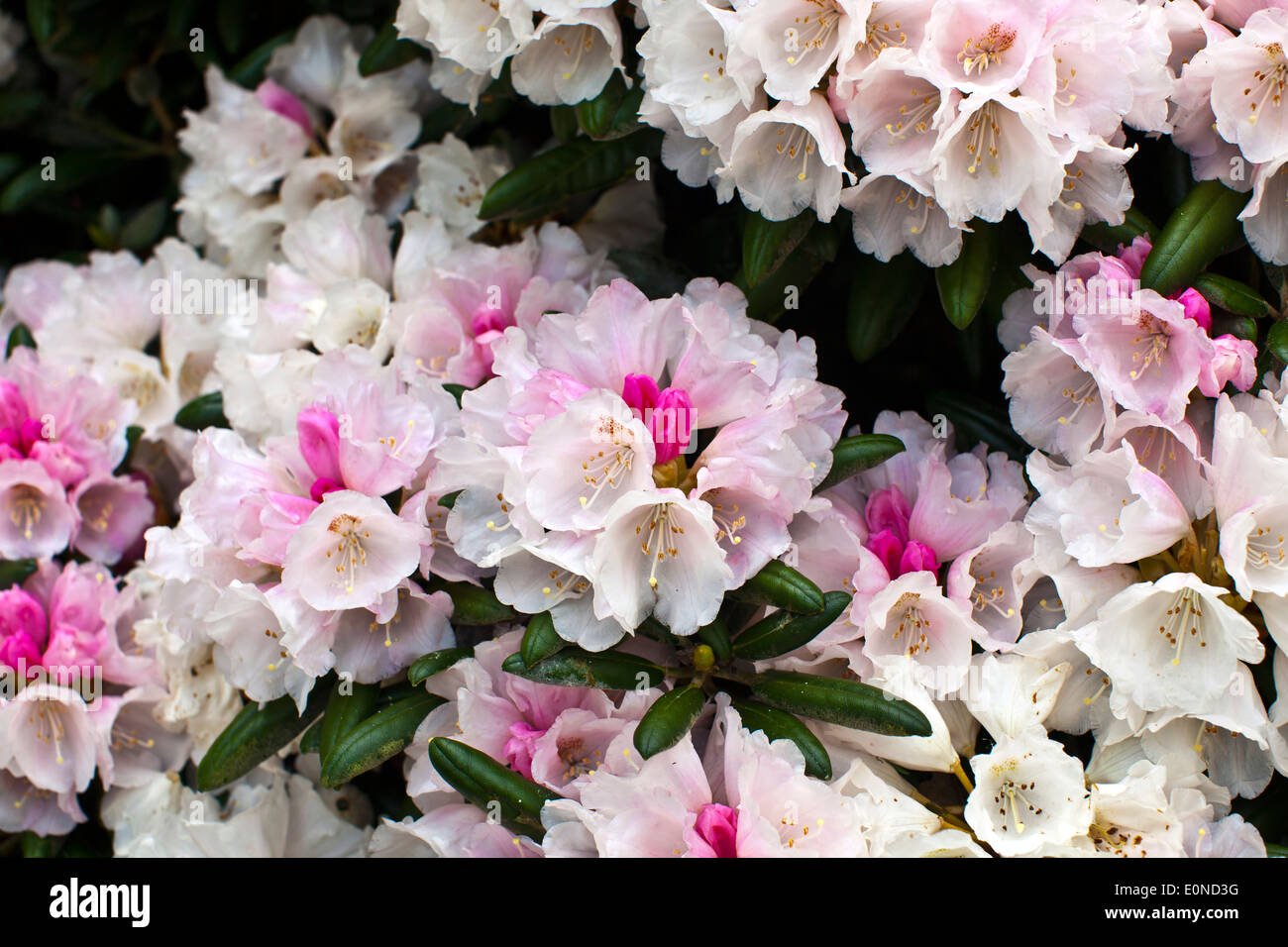 White and pink blush rhododendron flowers close-up. - Stock Image