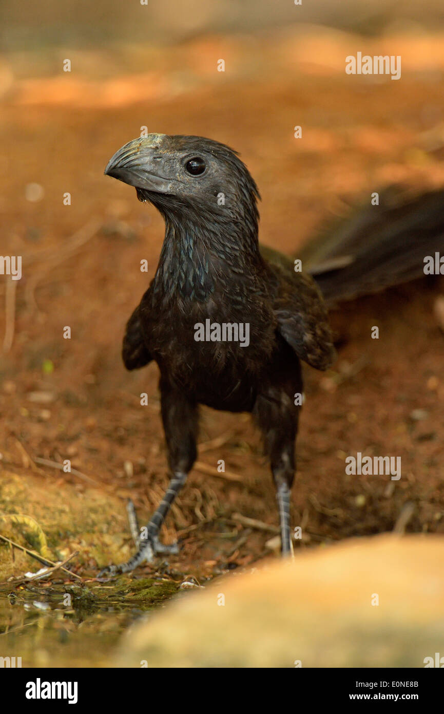 Groove-billed Ani (Crotophaga sulcirostris), Rio Grande City, Texas, USA - Stock Image