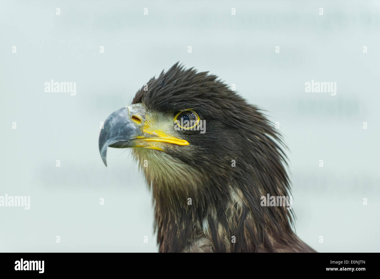 London, UK. 17th May 2014. The London Pet Show sponsored by My Pet online. Bald Eagle Hartley poses for a photograph. Stock Photo