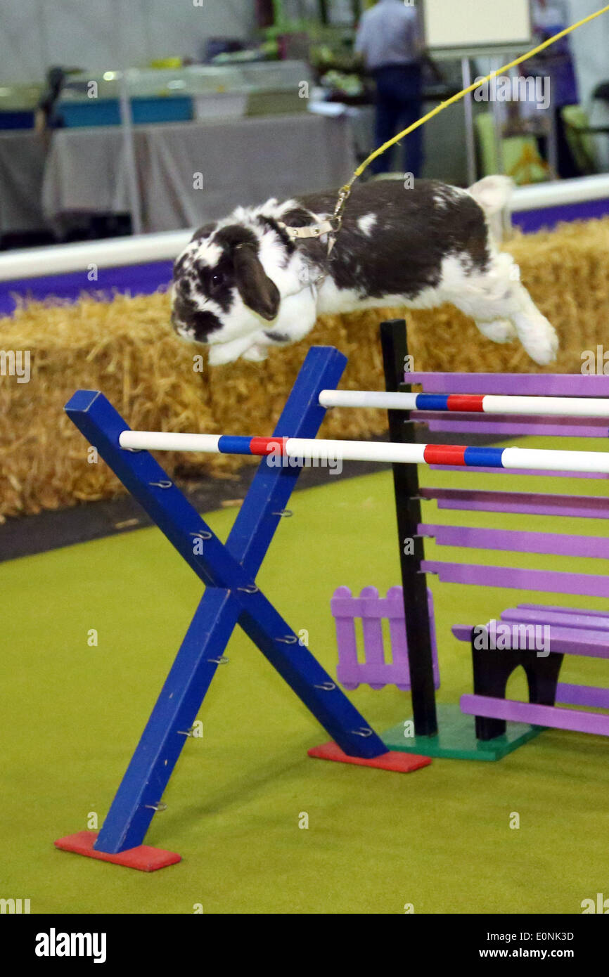 London, UK. 17th May 2014. Rabbit show jumping at the Rabbit Grand National with rabbits from Sweden at the London Pet Show, Earls Court, London. Credit:  Paul Brown/Alamy Live News - Stock Image