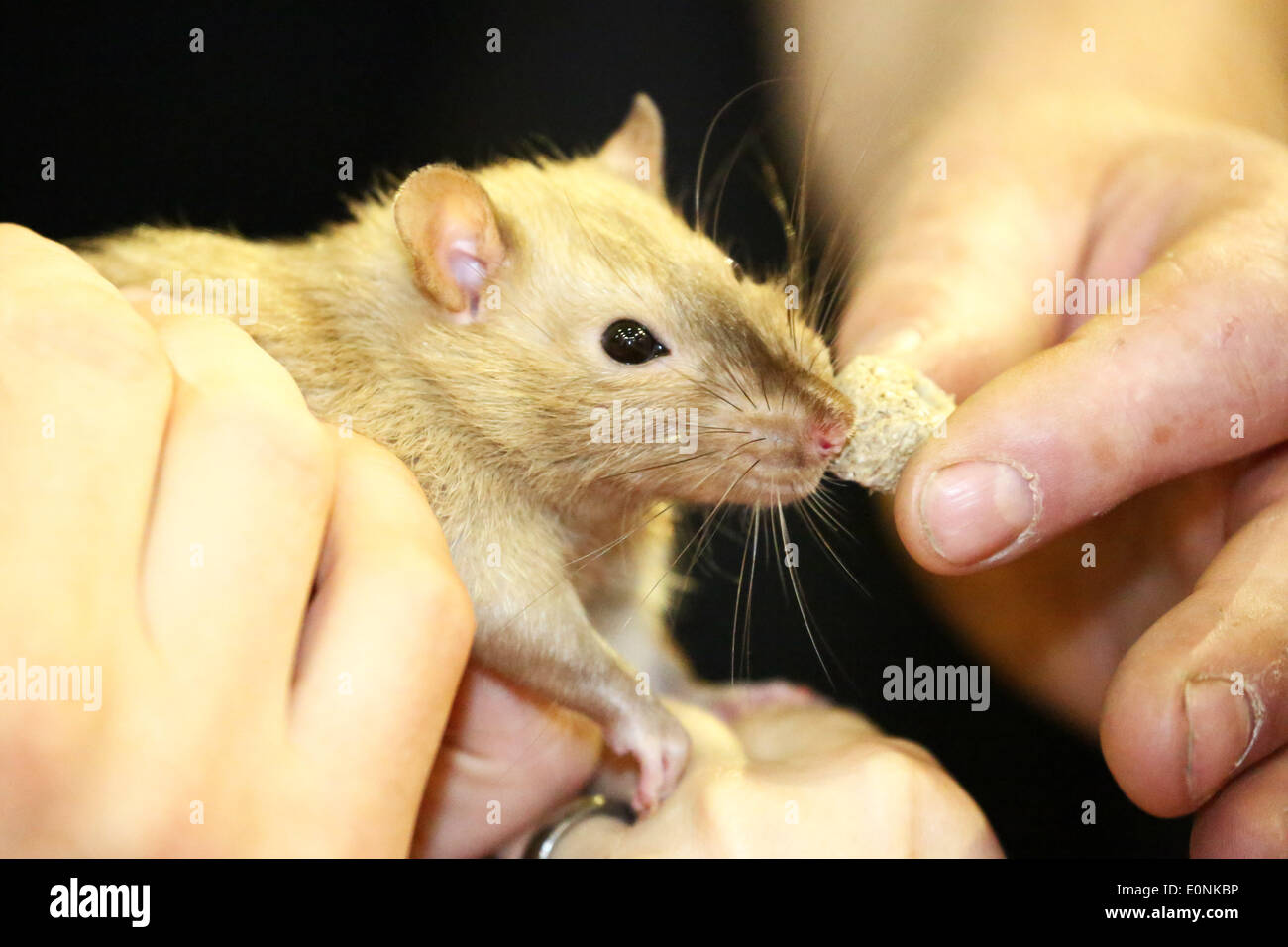 London, UK. 17th May 2014. A rat enjoys a tasty treat at the London Pet Show, Earls Court, London. Credit:  Paul Brown/Alamy Live News - Stock Image