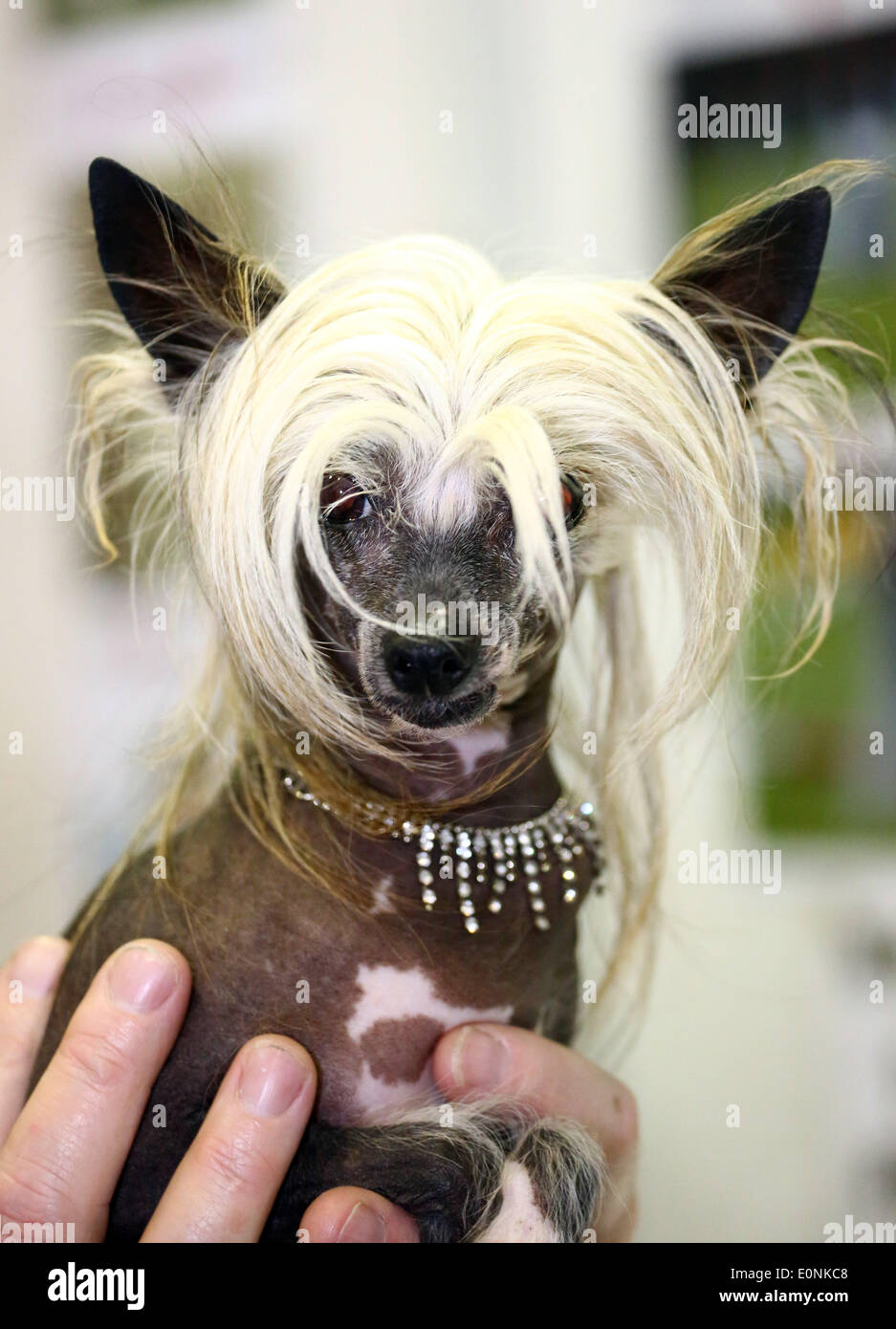 Chinese Crested Dog Show Stock Photos Chinese Crested Dog Show