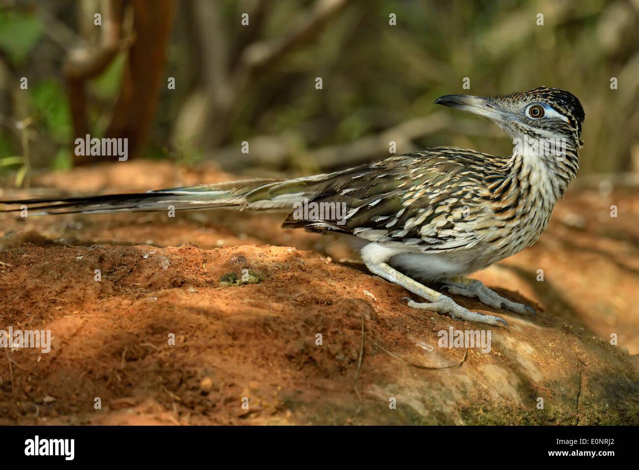 Greater Roadrunner (Geococcyx californianus), Rio Grande City, Texas, USA - Stock Image
