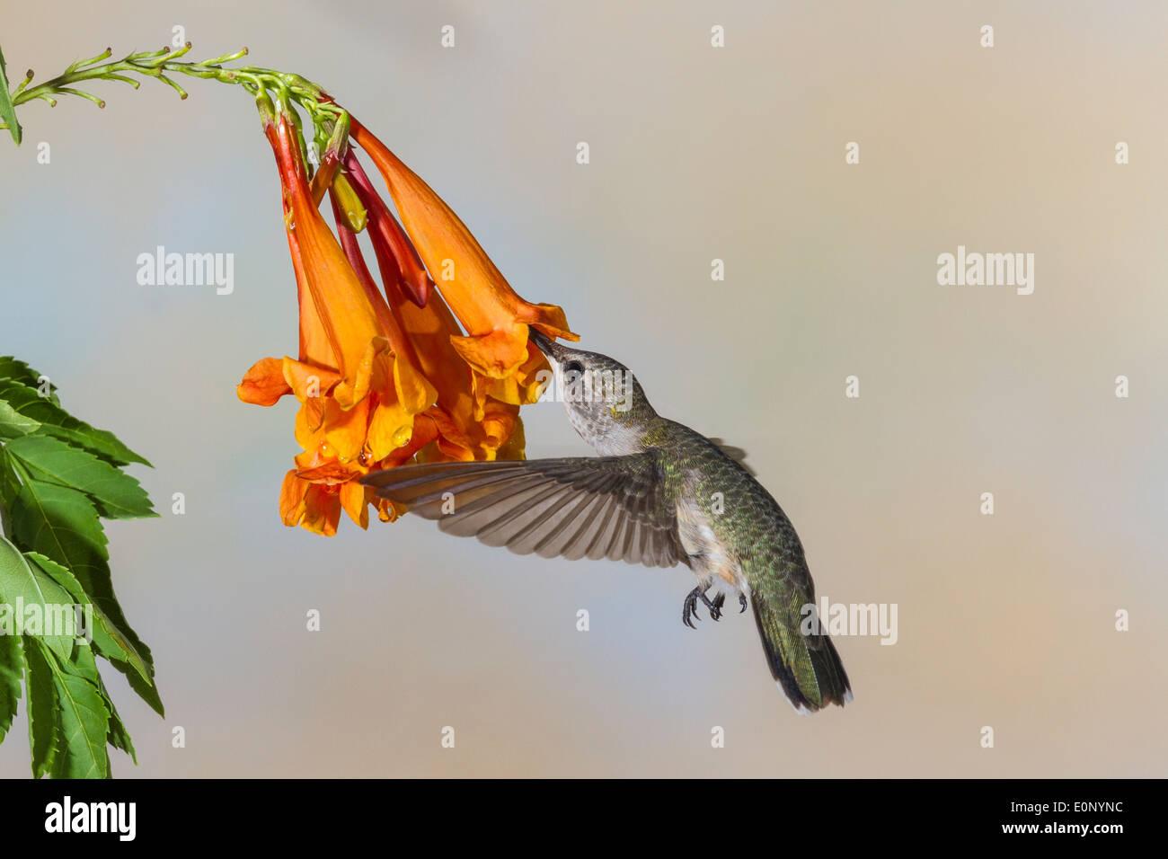 Black-chinned Hummingbird, Archilochus alexandri, feeding on nectar from Honeysuckle flowers. - Stock Image