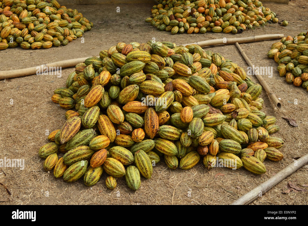 Cocoa pods in Ghana - Stock Image