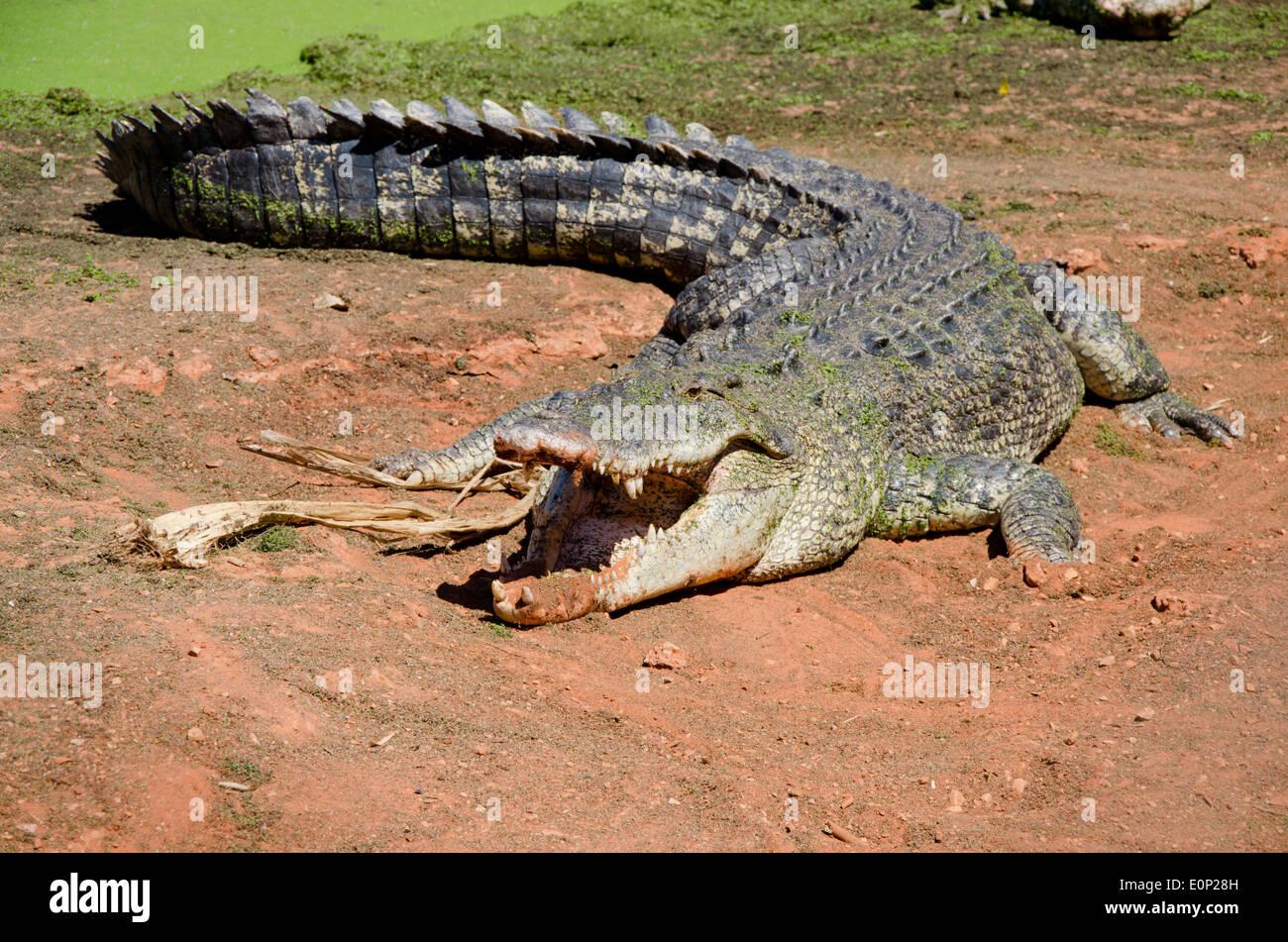 Australia, Western Australia, Broome. Malcolm Douglas Crocodile Park. Large saltwater crocodile. - Stock Image