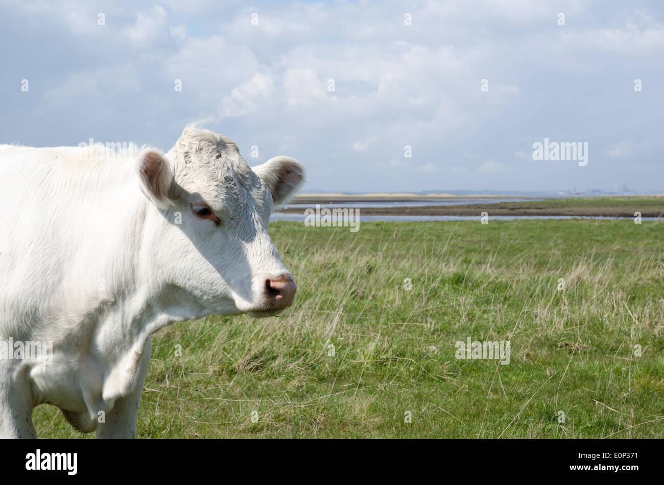 Portrait of a charolais cow at a coastal pastureland - Stock Image