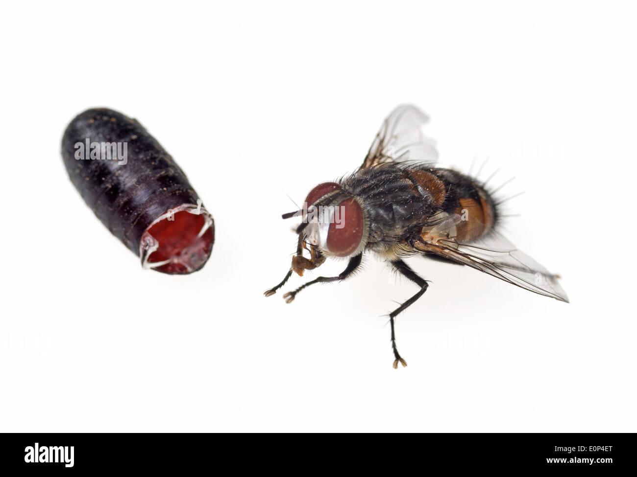 Tachinid fly and the pupa from which it emerged - Stock Image