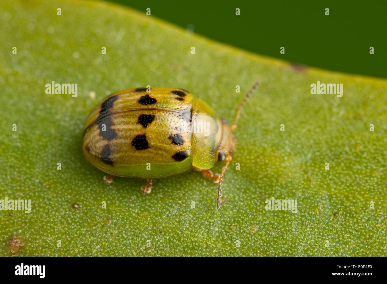 Green and gold spotted leaf beetle - Stock Image