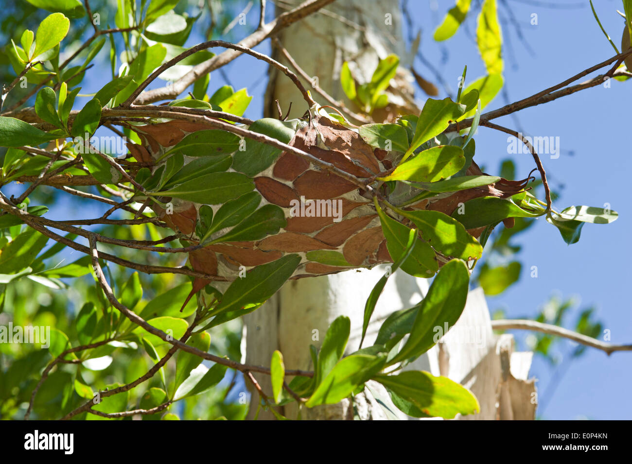 Green tree ant nest in northern Australia - Stock Image