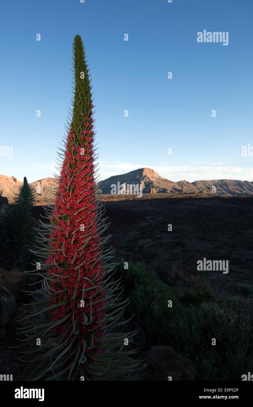 Echium wildpretii plant and volcano area around mount teide Tenerife island, Spain - Stock Image