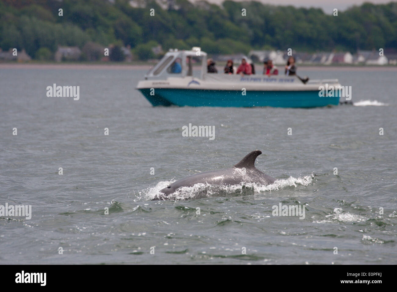 Bottlenose dolphin (tursiops truncatus) and a dolphin watching boat, Moray Firth, Scotland, UK Stock Photo