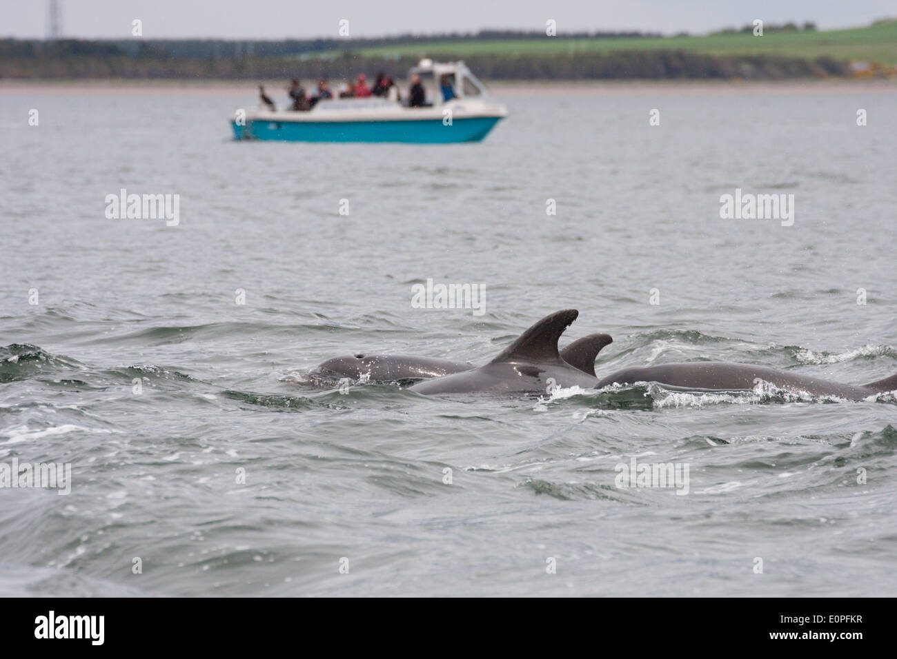 Bottlenose dolphins (tursiops truncatus) and a dolphin watching boat, Moray Firth, Scotland, UK - Stock Image