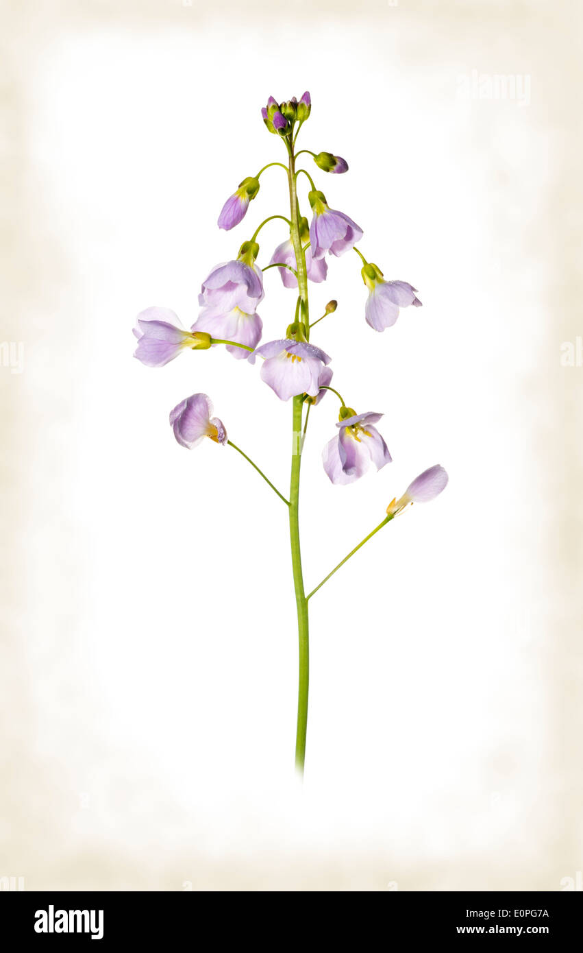 Cuckoo flower, against a white background, with an antiqued border. Stock Photo