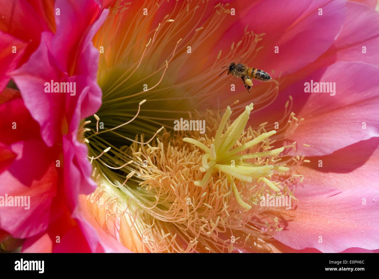 Honeybee Pollinating a Trichocereus Cactus Flower - Stock Image