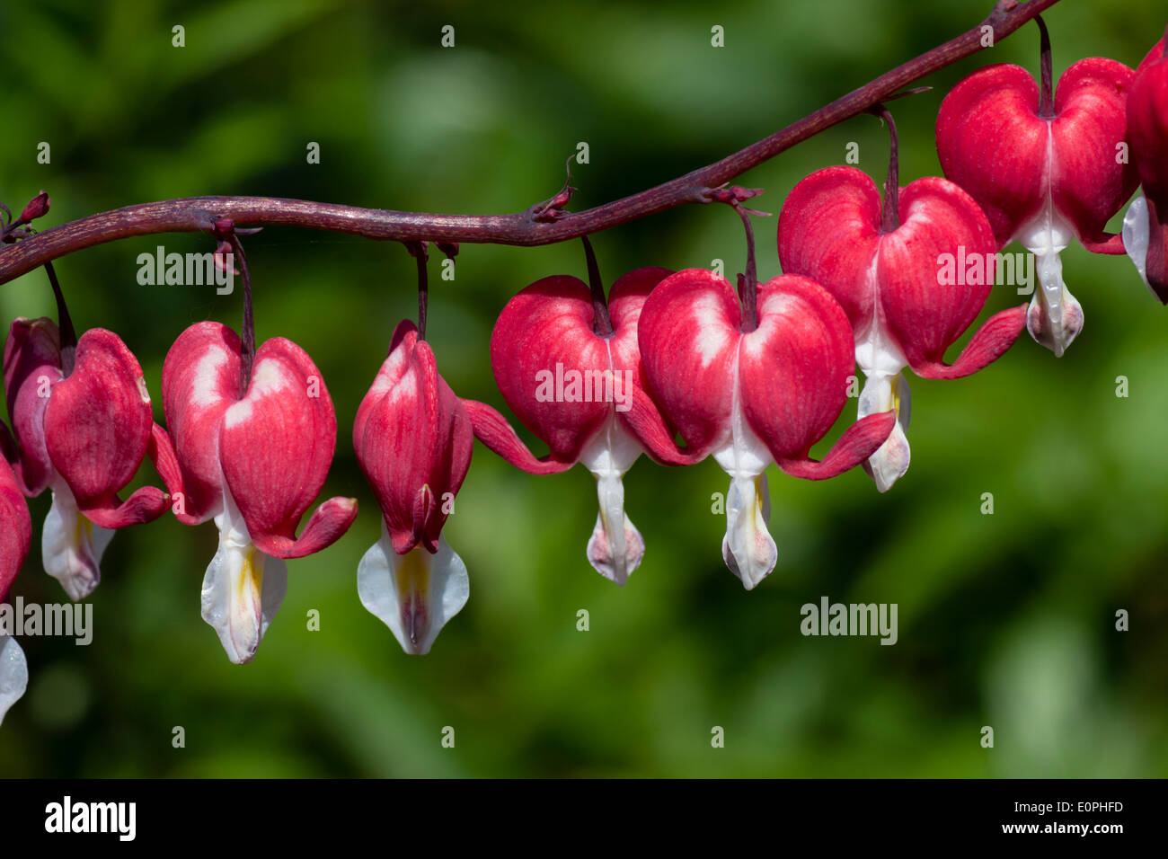 Flowers of the Bleeding Heart, Lamprocapnos (Dicentra) spectabilis 'Valentine's Day' - Stock Image