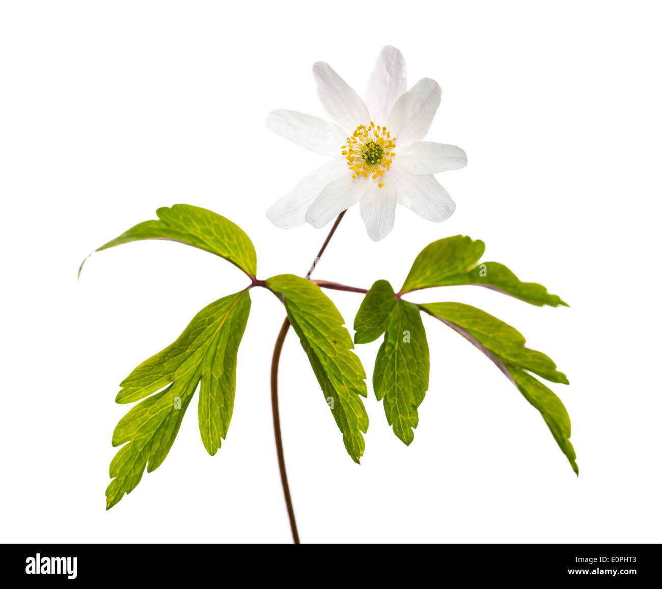 Wood Anemone against a white background - Stock Image